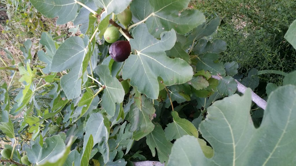 The juciest purple figs at the Toled Bend Cabin